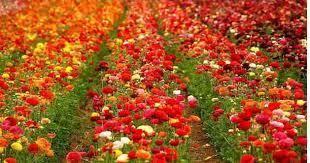 जालौन-किसानों की आय बढ़ाने में सहायक हो रही है व्यावसायिक फूलों की खेती